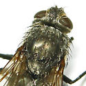 cluster fly - Pollenia
