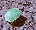 Stinkbug? - Chlorochroa