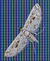 Moth - ID please - Parapoynx diminutalis