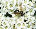 unknown bee - Andrena