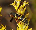Eumeninae 4 - Euodynerus annulatus