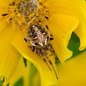 Spider in Flower - Neoscona arabesca