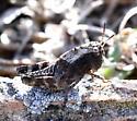 Trimerotropis pallidipennis Nymph? - Arphia conspersa
