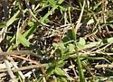 Hunting wasp - Larra bicolor