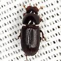 Aphodiine Dung Beetle - Ataenius platensis