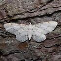 910374 Eupithecia cretaceata - Eupithecia cretaceata