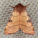 Bent-Line Dart Moth - Choephora fungorum