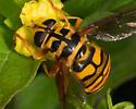Milesia virginiensis  - Milesia virginiensis