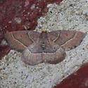 Moth for ID ?? - Episemasia cervinaria