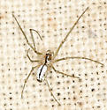 spider #32 voucher image - juvenile - Neriene litigiosa