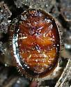 Tortoise beetle - Thymalus marginicollis