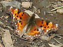 Which comma? - Polygonia