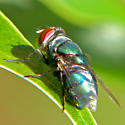 Hairy Maggot Blow Fly - Chrysomya megacephala - female