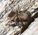Unidentified Jumping Spider - Habronattus calcaratus - female
