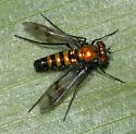 Condylostylus pilicornis?? - Condylostylus occidentalis - male