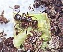 Aphaenogaster picea - female