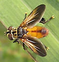 Well-appointed fly - Trichopoda pennipes