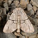 Oncocnemis greyi - Sympistis greyi
