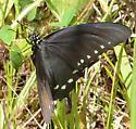 Black Swallowtail? - Battus philenor