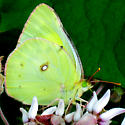 Orange Sulphur - Colias eurytheme - female