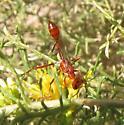 Ant-mimic thread-waisted wasp - Ammophila wrightii
