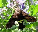 Moth on mint plant - Amphion floridensis