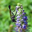 thread-waisted wasp  - Eremnophila aureonotata