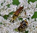 Insects on Hemlock  - Trichiotinus assimilis