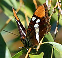 Butterfly from Saratoga, CA - Adelpha californica