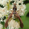 Mantidfly - Climaciella brunnea