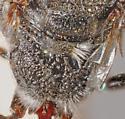 Pseneo punctatus - male