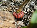Caterpillar I.D. - Cactoblastis cactorum
