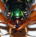 Megacephala - Large Head - Tetracha virginica