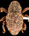 Weevil, dorsal - Acalles indigens