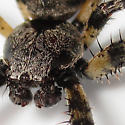 Giant Lichen Orbweaver - Araneus bicentenarius - male