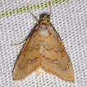 White-roped Glaphyria - Glaphyria sesquistrialis