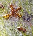 Ants on Serviceberry Tree - Prenolepis imparis