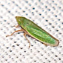 Sharpshooter Leafhopper - Draeculacephala balli