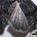 Lacinipolia acutipennis