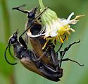 Trigonarthris proxima or T. minnesotana? - Trigonarthris minnesotana - male - female