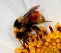 Bumble Bee - Bombus sylvicola