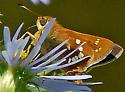 Skipper - Hesperia leonardus