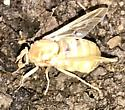 Fly that appears to have recently emerged from pupa - Goniops chrysocoma - female