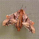 Another Deltoid Wing Moth - Paonias excaecata
