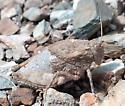 Chihuahuan Lubber - Phrynotettix tshivavensis - female