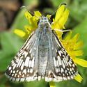 Common Checkered Skipper - Hodges#3966 - Pyrgus communis