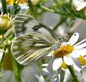 Checkered White or Western White - Pontia occidentalis