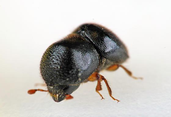Bark Beetle - Cnestus mutilatus