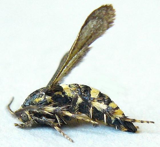 Scruffy Clearwing Moth - Zenodoxus heucherae - male