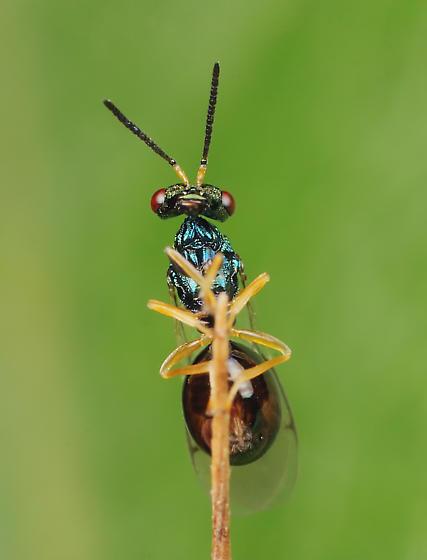 Wasp ID - Orasema